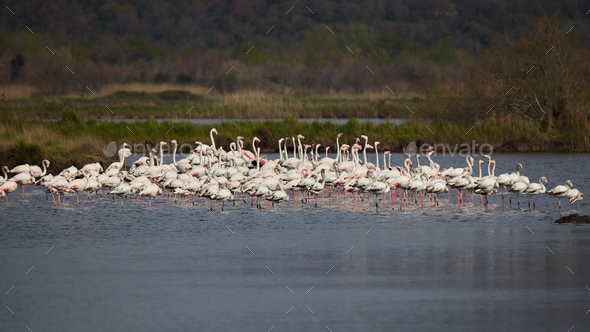 Greater flamingo, Phoenicopterus roseus - Stock Photo - Images