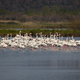 Greater flamingo, Phoenicopterus roseus - PhotoDune Item for Sale