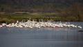 Greater flamingo, Phoenicopterus roseus - PhotoDune Item for Sale