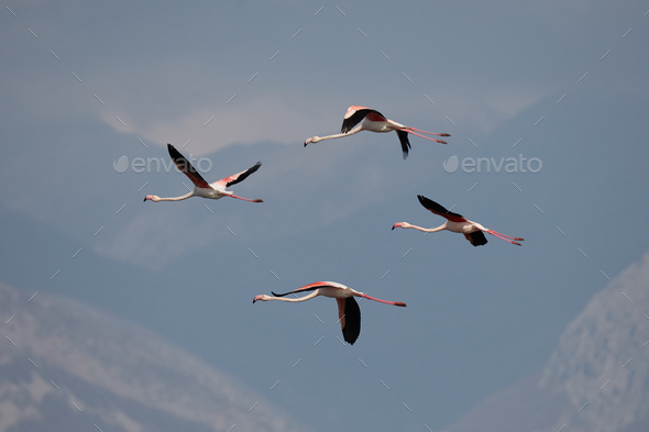 Greater flamingo, Phoenicopterus roseus - Stock Photo - Images