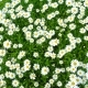 Meadow Full of Daisies on a Summer Day - VideoHive Item for Sale
