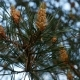Yellow Pine Cones on the Pine Trees - VideoHive Item for Sale