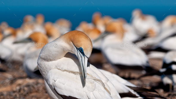 gannet in colony new zealand - Stock Photo - Images