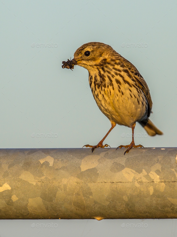 Meadow pipit with insects in beak afternoon light - Stock Photo - Images