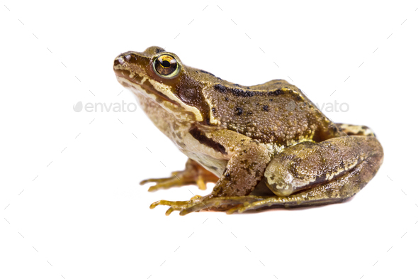 Common frog on white background - Stock Photo - Images