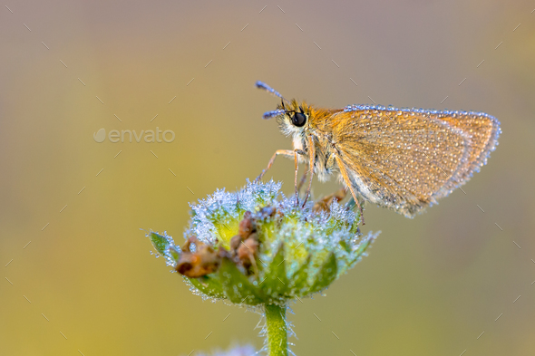 Essex skipper covered in dew - Stock Photo - Images