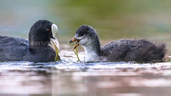 Eurasian coot feeding young - Stock Photo - Images