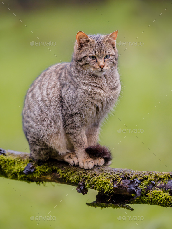 European wild cat sitting on a branch - Stock Photo - Images