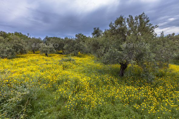 Ecological olive grove greece with yellow flowers - Stock Photo - Images