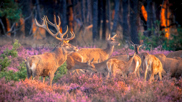 Group of red deer in heathland - Stock Photo - Images