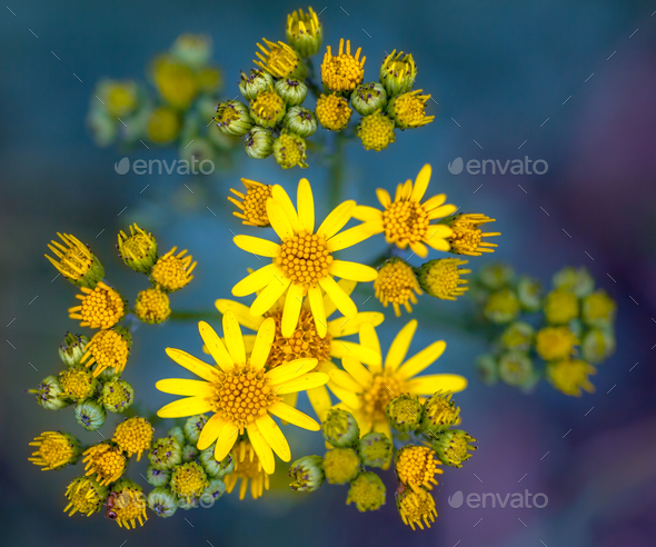 Jacobaea vulgaris or Ragwort Close up Wallpaper on Green and Pur - Stock Photo - Images