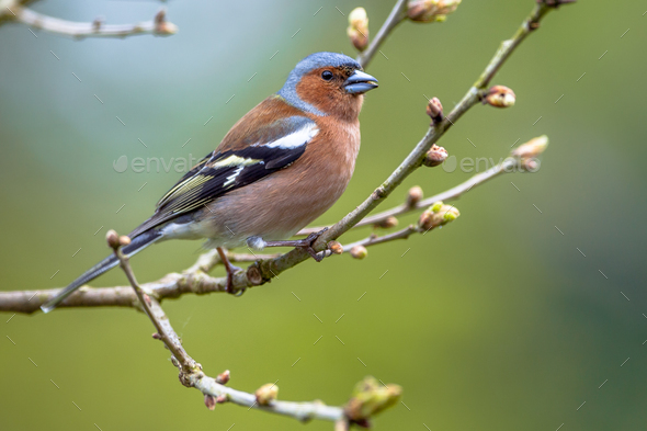 Chaffinch perched on spring branch - Stock Photo - Images