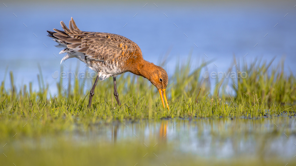 Feeding Black tailed Godwit foraging in wetland - Stock Photo - Images