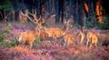 Group of red deer in heathland - PhotoDune Item for Sale