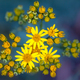 Jacobaea vulgaris or Ragwort Close up Wallpaper on Green and Pur - PhotoDune Item for Sale