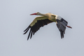 Flying Stork against cloudy background - PhotoDune Item for Sale