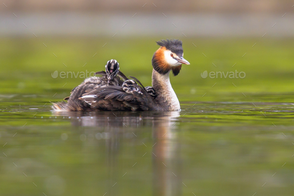 Great crested grebe with chicks - Stock Photo - Images