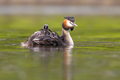 Great crested grebe with chicks - PhotoDune Item for Sale