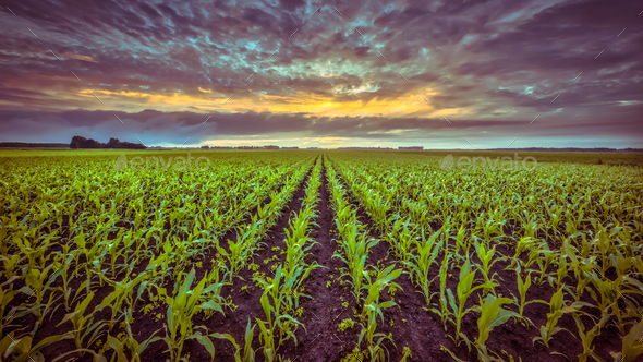 Corn field under setting sun in vintage colors - Stock Photo - Images