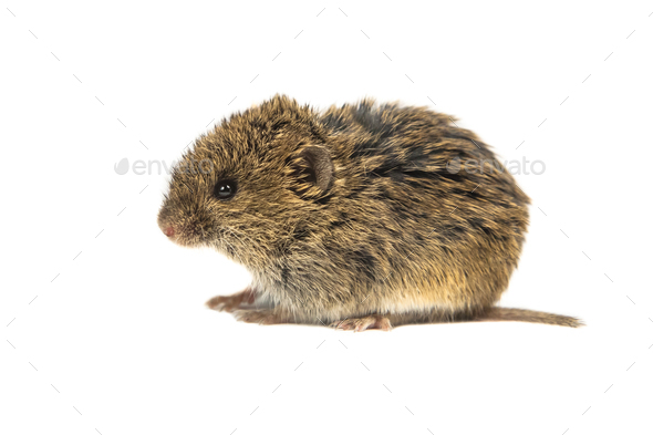 Juvenile Common Vole on white - Stock Photo - Images