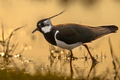 Back lit Northern Lapwing male - PhotoDune Item for Sale