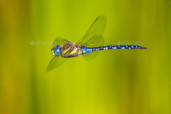 flying dragonfly - Stock Photo - Images
