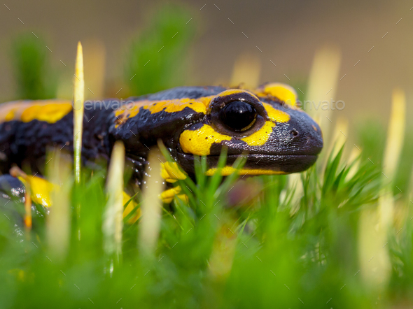 Sideview of Fire salamander on moss - Stock Photo - Images