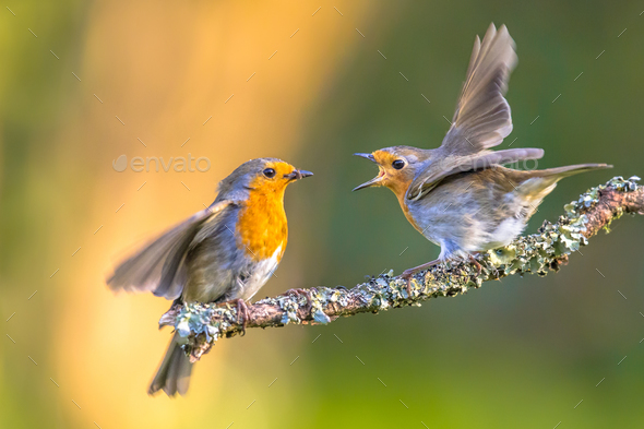 Parent Robin bird feeding young - Stock Photo - Images