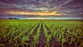 Corn field under setting sun in vintage colors - PhotoDune Item for Sale