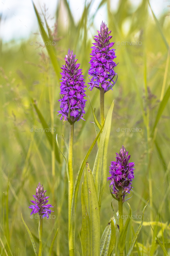 Group of Western Marsh Orchid in family pose - Stock Photo - Images