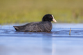 Eurasian coot Waterfowl swimming in wetland pond - PhotoDune Item for Sale