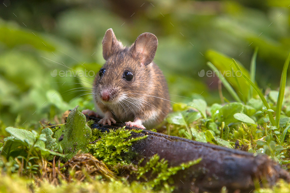 Cute Wood mouse peeking - Stock Photo - Images