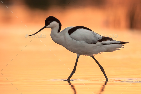 Wading pied avocet with orange background - Stock Photo - Images