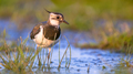 Lapwing female wading in shallow water - PhotoDune Item for Sale