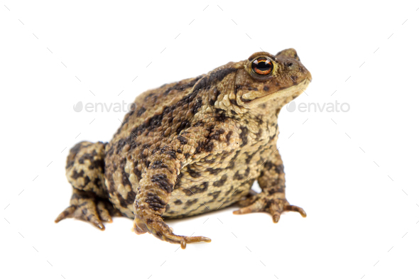 Toad on white background - Stock Photo - Images