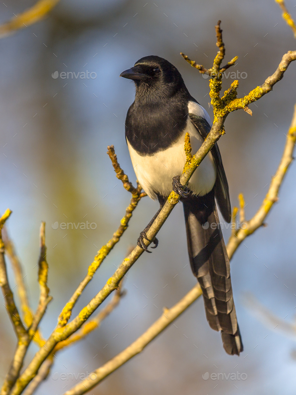 Eurasian magpie in light of setting sun - Stock Photo - Images