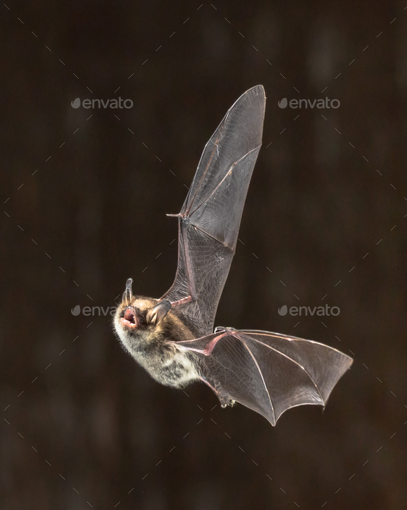 Rare Natterers bat in flight - Stock Photo - Images