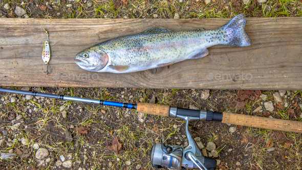 Fresh caught Rainbow Trout - Stock Photo - Images