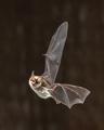 Rare Natterers bat in flight - PhotoDune Item for Sale