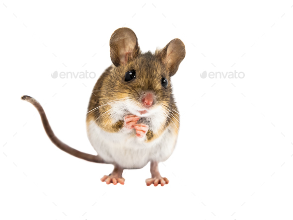 Cute Field Mouse standing on white background - Stock Photo - Images