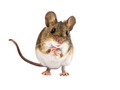 Cute Field Mouse standing on white background - PhotoDune Item for Sale