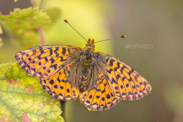 Cranberry Fritillary  warming wings in sun - Stock Photo - Images