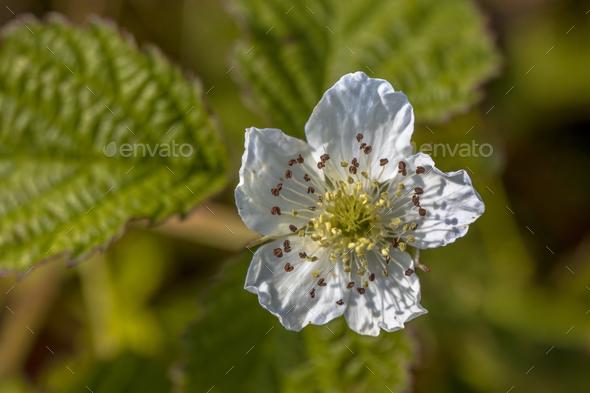 Flower of blackberry - Stock Photo - Images