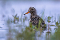 Eurasian oystercatcher chick in water - PhotoDune Item for Sale