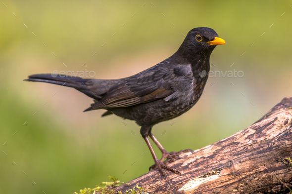 Common blackbird green background - Stock Photo - Images