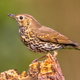 Song Thrush perched on log - PhotoDune Item for Sale