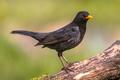 Common blackbird green background - PhotoDune Item for Sale