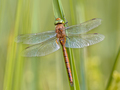 Green eyed hawker resting  on reed - PhotoDune Item for Sale
