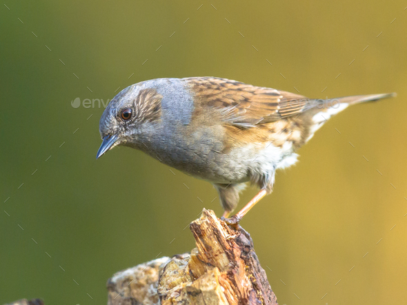 Dunnock perched on log looking down - Stock Photo - Images
