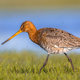 Close up of Black tailed Godwit wading through wetland - PhotoDune Item for Sale